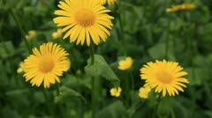 Yellow camomiles swing on the wind Stock Footage