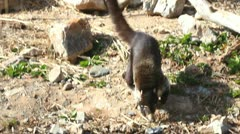 Coati Tail Stock Footage
