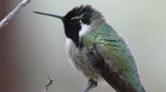 Stock Video Footage of Costa's Hummingbird Close-Up