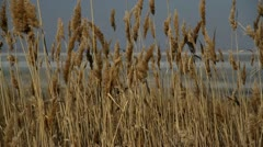 Bulrush grows on nature - stock footage