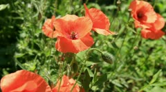 Red poppys Stock Footage