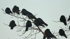 Ravens on tree Stock Footage