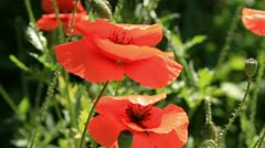 Red poppys on the wind Stock Footage