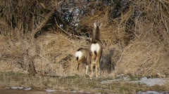 Two Scared Mule Deer Stock Footage