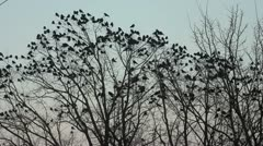 Ravens on tree Stock Footage