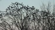 Stock Video Footage of Ravens on tree