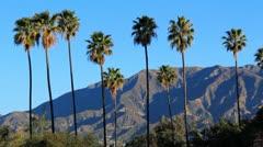Palm Tree Pasadena Morning 3 Crows - stock footage