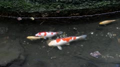 Koifish in the pond Stock Footage