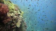 Stock Video Footage of School of small fish over coral reef