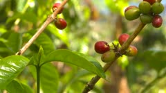 Agriculture, geisha coffee from Panama, close up Stock Footage