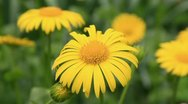 Camomile flowers wither Stock Footage