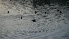ducks02 - stock footage