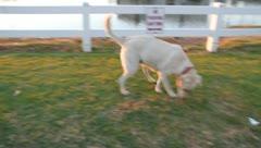 Dog pee Stock Footage