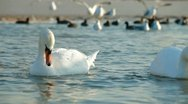 Migrating Mute Swans Stock Footage