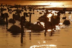 Flock of Mute Swans at Winter Lake Stock Footage