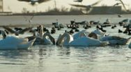 Flock of Migrating Mute Swans at Frozen Lake Stock Footage