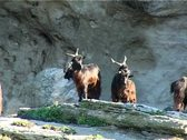 Goats on the rocks in the farm Stock Footage