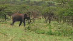 Elephants Stock Footage