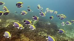Powderblue surgeonfish school Stock Footage