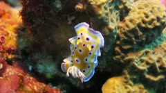 Nudibranch marine life Stock Footage