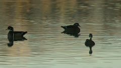 Female and Male Wood ducks Stock Footage