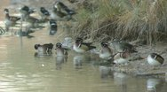 Wood Ducks on Shore Stock Footage