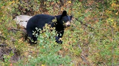 Stock Video Footage of Black bear eating berries