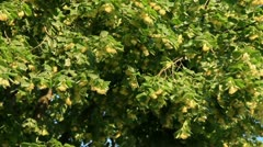 Blossom linden tree crown Stock Footage