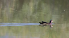 Wood Duck Stock Footage
