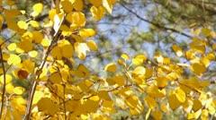Golden Aspen Stock Footage