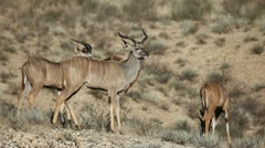 Kudu antelopes Stock Footage