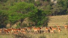 Impala - stock footage