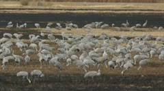 Sedge of Sandhill Cranes in a Burnt Field - stock footage