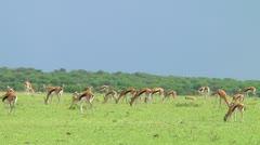 Thomson's gazelle Stock Footage