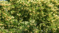 Greenly linden tree bloom Stock Footage