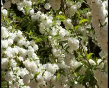 White blooms - PAL Stock Footage