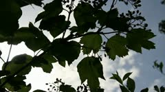Guelder rose leafs silhouette Stock Footage