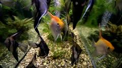 Redshoulder slikes in aquarium tank Stock Footage
