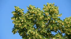 Linden tree branch blossom on the wind Stock Footage