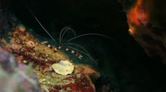 Banded shrimp coral reef Stock Footage