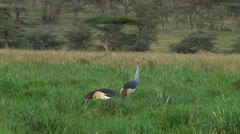 Crowned crane Stock Footage