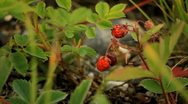 Red Berries and thorns Stock Footage