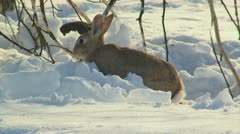 Rabbit Stock Footage