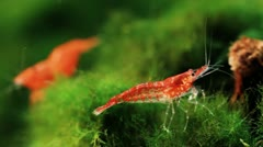 Red Cherry Shrimp 04 Stock Footage