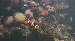 Colourful clown fish swimming in a tanks Stock Footage