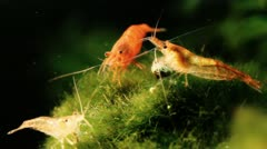 Shrimps 02 Stock Footage