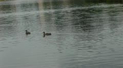 Ducks swim in the river Stock Footage