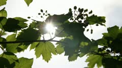 Sunbeams through guelder rose leafs and fruits Stock Footage