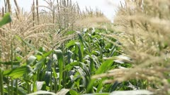 Sweet Corn Field Stock Footage
