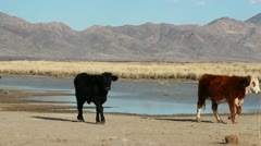 Cows Arizona Desert Grassland Stock Footage